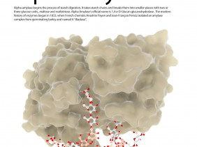 "Alpha-amylase begins the process of starch digestion. It takes starch chains and breaks them into smaller pieces with two or three glucose units., maltose and maltotriose. Alpha Amylase's official name is 1,4-a-D-Glucan glucanohydrolase. The modern history of enzymes began in 1833, when French chemists Anselme Payen and Jean-François Persoz isolated an amylase complex from germinating barley and named it ""diastase""."