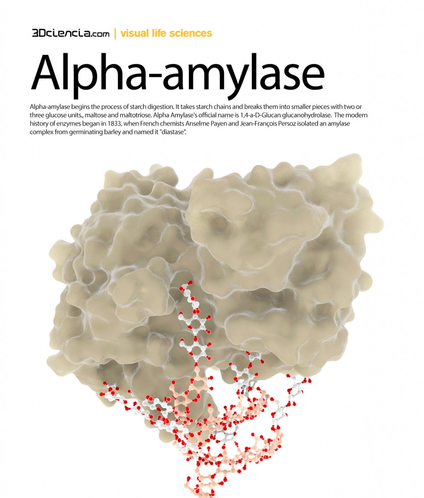 """Alpha-amylase begins the process of starch digestion. It takes starch chains and breaks them into smaller pieces with two or three glucose units., maltose and maltotriose. Alpha Amylase's official name is 1,4-a-D-Glucan glucanohydrolase.  The modern history of enzymes began in 1833, when French chemists Anselme Payen and Jean-François Persoz isolated an amylase complex from germinating barley and named it """"diastase""""."""