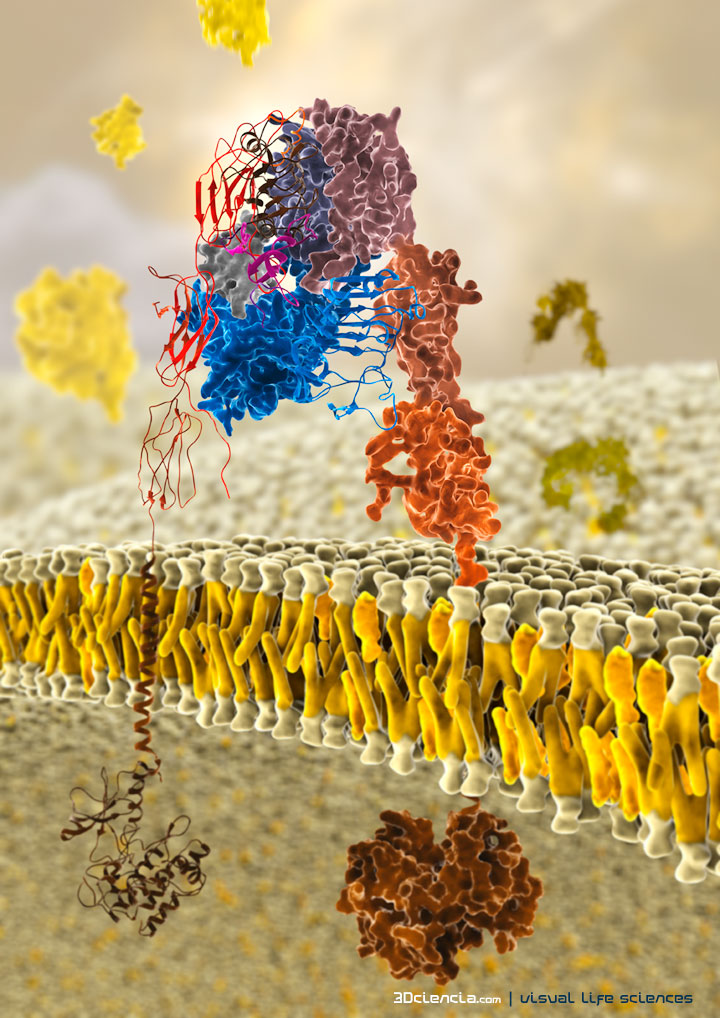 The insulin receptor is a transmembrane receptor that is activated by insulin. It belongs to the large class of tyrosine kinase receptors.