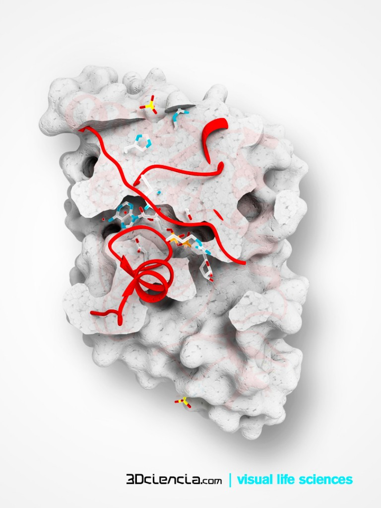 Molecularly, Sirt6 neural deletion results in striking hyperacetylation of histone H3 lysine 9 (H3K9) and lysine 56 (H3K56), two chromatin marks implicated in the regulation of gene activity and chromatin structure, in various brain regions including those involved in neuroendocrine regulation.