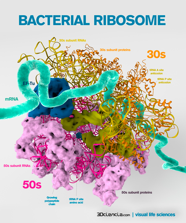 Bacterial ribosome structure.
