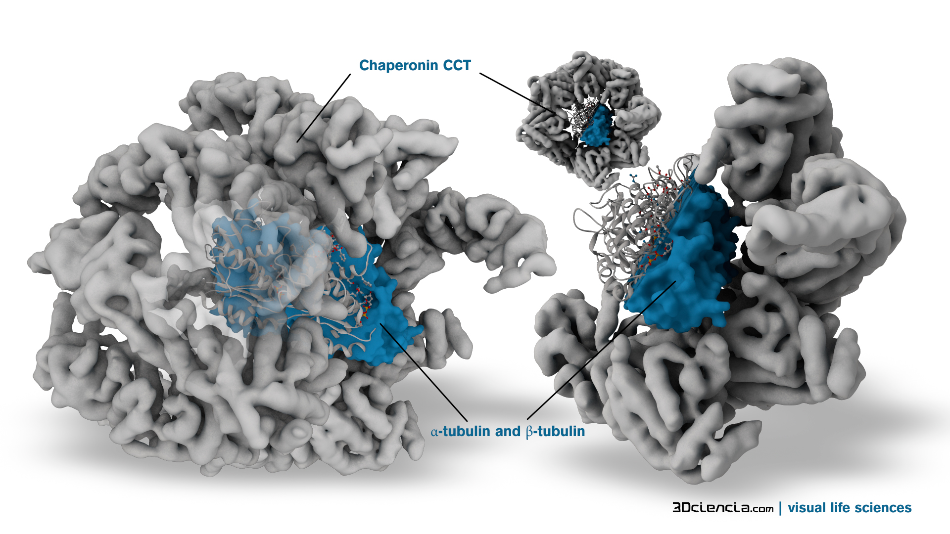 Chaperone proteins protecting folding proteins