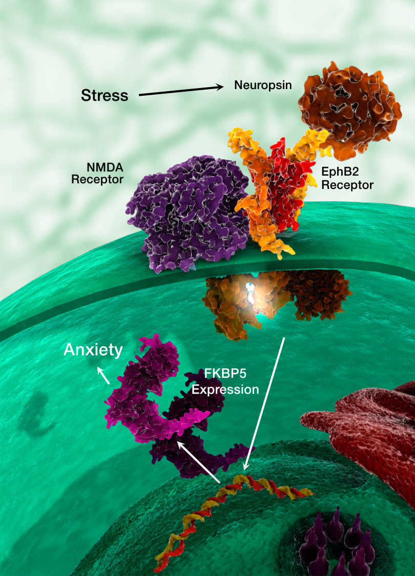 Newly discovered neurochemical cascade promoting stress-induced anxiety. Neuropsin interacts with cell membrane proteins NMDA and EphB2 to induce expression of the Fkbp5 gene.