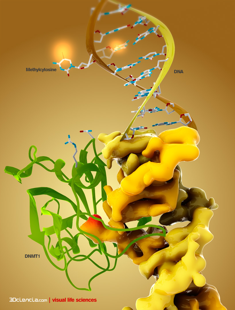 "SRA domain of UHRF1 binds hemimethylated CpG and flips  5-methylcytosine out of the DNA helix, whereas its tandom tudor domain and PHD domain bind the tail of histone H3 in a highly methylation sensitive manner."" title=""UHRF1-Enhancer-Binding-Proteins-CpG-Islands-DNA-Methylation-Epigenesis-Nuclear-Proteins-hemimethylated-cytosine-binding-protein"