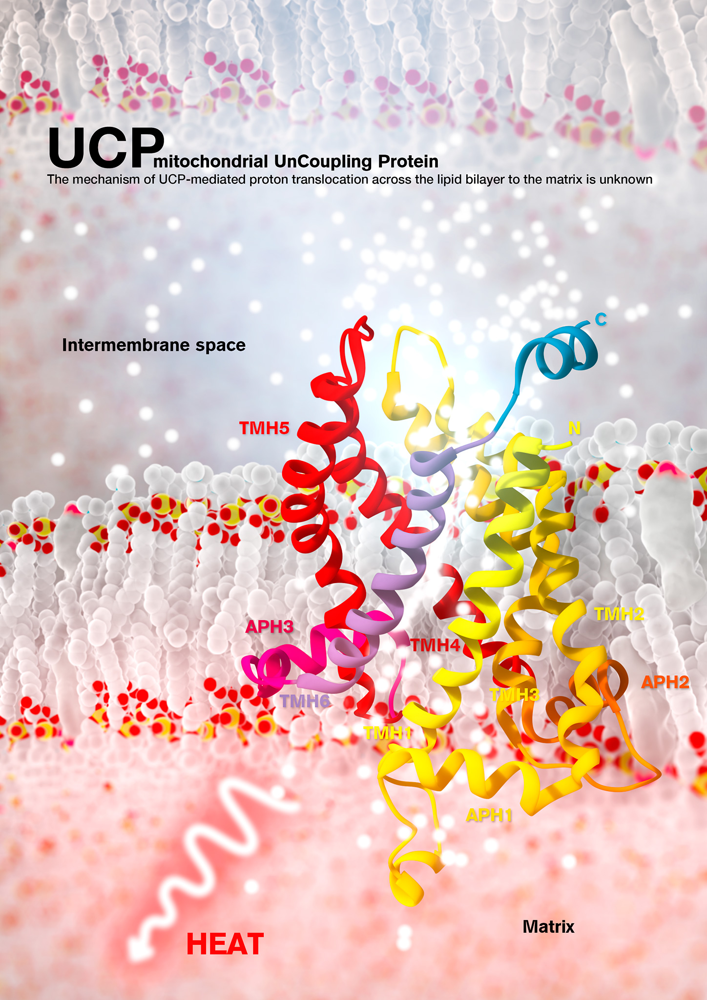 Mitochondrial uncoupling protein 2 (UCP2) is an integral membrane protein in the mitochondrial anion carrier protein family, the members of which facilitate the transport of small molecules across the mitochondrial inner membrane. When the mitochondrial respiratory complex pumps protons from the mitochondrial matrix to the intermembrane space, it builds up an electrochemical potential. A fraction of this electrochemical potential is dissipated as heat, in a process involving leakage of protons back to the matrix. This leakage, or 'uncoupling' of the proton electrochemical potential, is mediated primarily by uncoupling proteins.